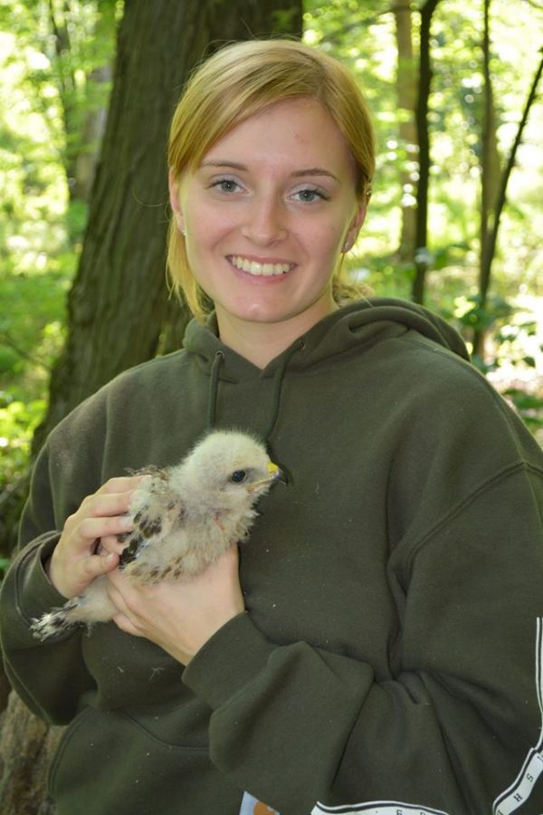April holding a wild red-shouldered hawk chick that is going to be fit with a band on its leg