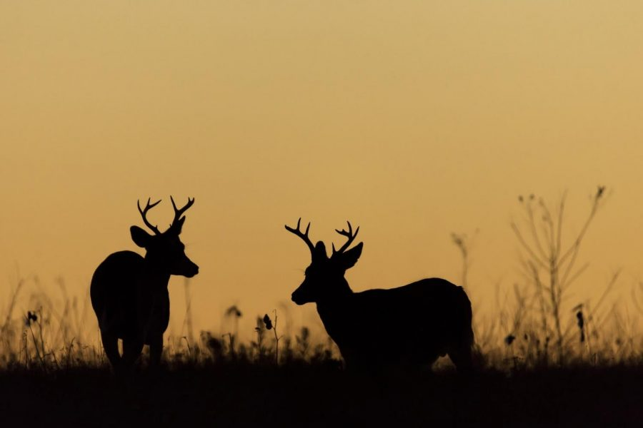 Two large male deer grazing in a field during sunset