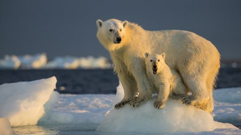 Because of climate change, polar bears have less access to food, and their habitats are becoming smaller.