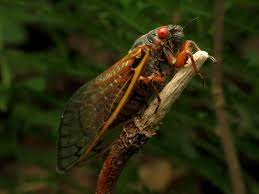 A straggler of the Brood X cicadas in 2017